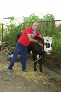 Foto krava 1